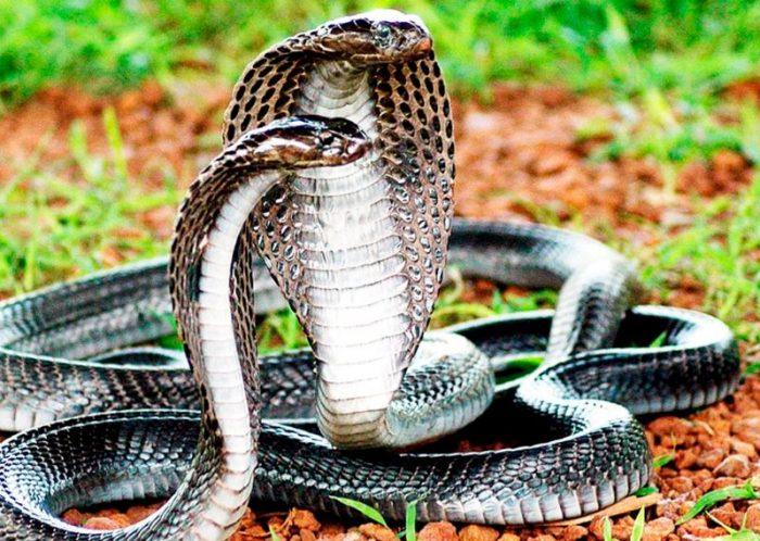 Mơ thấy rắn hổ mang thì nên cẩn thận
