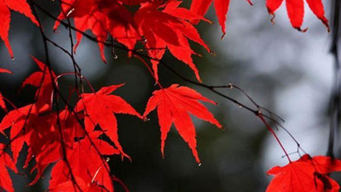 lá cây màu đỏ có diệp lục không
