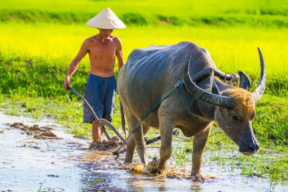 Nông dân sử dụng sức trâu cày sâu bừa kĩ tăng độ dày lớp đất canh tác